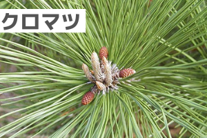 出典:http://had0.big.ous.ac.jp/plantsdic/gymnospermae/pinaceae/kuromatsu/kuromatsu.htm